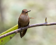 Bronzy Inca (Coeligena coeligena) (Frank Shufelt) Tags: bronzyinca coeligenacoeligena trochilidae hummingbirds aves birds wildlife mountains forest andes humid rioblanco caldas colombia southamerica february2017 6062