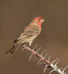 House Finch male Elephant head pond az (mandokid1) Tags: canon canon500f4 1dx birds arizona