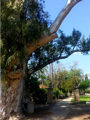 eucalyptus tree (claudia.joseph16) Tags: nature eucalyptus tree huge green leaves