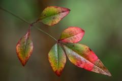 葉 (23fumi@fuyunofumi) Tags: ilce7m2 sony tamron tamronspaf90mmf28macro11 macro leaf leaves plant nature color タムロン ソニー 葉 植物 272e