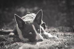 IMG_5173-3 (doranyiro) Tags: cute dog dogwalk outdoor nature ears funny beauty beautiful eyes canon canon40d portrait animal pet border bordercollie puppy borderpuppy