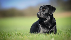morning sun (uwe.kast) Tags: labrador labradorretriever labradorredriver hund haustier dog bokeh nikon nikond3 d3 spring frühling
