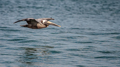 Brown Pelican (Bill'sLIPhotos) Tags: ocean brown bird beach nature canon eos rebel fly flying florida wildlife flight may melbourne pelican atlantic fl brownpelican avian bif xsi pelecanusoccidentalis 100400 2013 ef100400l 450d flfloridanature