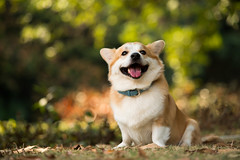 Smiling Mars (ama711) Tags: mars pet corgi