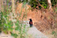 Coucal Walk (chetankjain) Tags: birds animalplanet greatercoucal nikon28300 msrnc