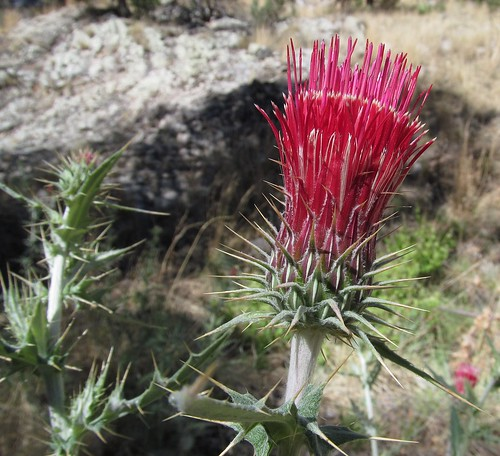 Cirsium arizonicum (Arizona Thistle) 1 more below