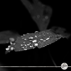 Raindrop (l'estropi) Tags: camera blackandwhite bw white black france art nature water rain garden photography leaf noiretblanc sony nb reflet dslr loire numrique raindrop saintetienne rhnealpes saint