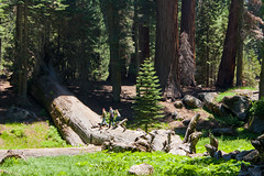 Tiny People (derekbruff) Tags: trees fallen giants sequoianationalpark sequoias