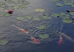 Water Lily and Carp (h orihashi) Tags: japan pond pentax hiroshima 日本 carp 広島 k5ⅱs pentaxk5ⅱs