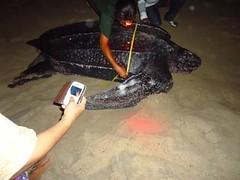 Leather back turtle (didisadili) Tags: beach indonesia penyu leatherbackturtle papuabarat turtlenesting jamursbamedi tambrauw penyubelimbing tempatpeneluran
