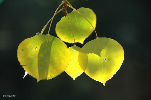 Photo - Fall cottonwood leaves.