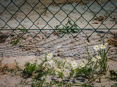 Zaungewächse #HFF (olipennell) Tags: flower fence blume zaun