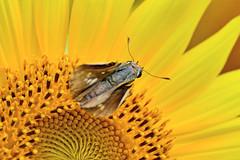 Straight Swift and Sunflower /  (Dakiny) Tags: summer plant flower nature animal animals japan butterfly insect landscape skipper july sunflower yokohama    watermill     satoyama       jige 2013 rurallandscape      aobaku   straightswift  2013  jigecho jigefurusatovillage