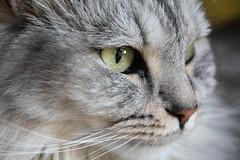 Fussel (Vasquezz - OFFLINE) Tags: portrait closeup cat wow eyes katze augen siberian siberiancat sibirische forestcat ruby3 coth greatphotographers waldkatze supershot kittysuperstar kittyschoice sibirisch sibirischekatze alittlebeauty hellopussycat coth5 ruby10 ruby15 sunrays5 ruby20 rubyfrontpage