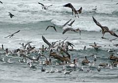 Ocean Beach birds (rulenumberone2) Tags: sanfrancisco seagulls pelicans cormorants oceanbeach terns
