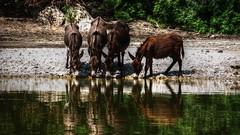 i nativi dell'ecoparco (lele orpo) Tags: river sardinia fiume asini gh1 cedrino neulè ecoparco