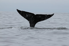 Grey Whale Fluke (Miles Gilbert) Tags: canada nature animal mammal marine wildlife vancouverisland tofino greywhales whalesjamieswhalewatching