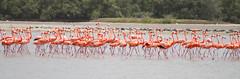 Wild flamingos in Chichiriviche, Venezuela (Notkalvin) Tags: beach birds canon venezuela flamingo flamingos shore caribbean critters chichiriviche mikekline michaelkline visitingmymom notkalvin chichiraviche chichiravichi notkalvinphotography
