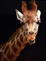 The Giraffe (Ste Cube) Tags: animal giraffe 75300mm animali giraffa stecube