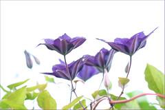 Clematis (haberlea) Tags: flowers plants white green nature garden petals purple clematis whitebackground mygarden onwhite