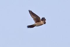 032034-IMG_6488 American Kestrel (Falco sparverius) (ajmatthehiddenhouse) Tags: usa bird colorado americankestrel falco falcosparverius sparverius 2013