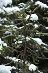 Little Tree (stephaniebrannphotography) Tags: snowflake winter white snow cold tree green nature beautiful alaska pine snowflakes december ak anchorage chilly snowing