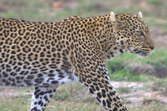 Leopard Out for a Stroll, Masai Mara, Kenya (eflen001) Tags: kenya leopard mara masai wildebeest