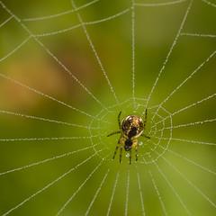 Pearly queen (Mariette80) Tags: macro 100mm raindrops octobre araigne gouttelettes eos550d