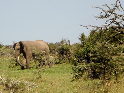 Elephants, Mutara Ranch