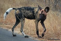 DSC_5356 (Arno Meintjes Wildlife) Tags: africa wallpaper southafrica wildlife safari endangered predator krugerpark africanwilddog wilddog lycaonpictus wildehond nikond40 arnomeintjes stripeddog