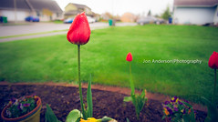 a wet tulip (Jon and Rach | Photography) Tags: flower water garden photography droplets jon sony anderson sp tulip 20mm fullframe alpha tamron 2040mm a850 a sonyalpha tamronspaf2040mmf2735if alpha850 tamron2040mmf2735 vision:outdoor=0833