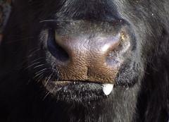 cow (Caerphilly Keeper -AKA Nick) Tags: november st sunny wfc fagans photomeet 2013 welshflickrcymru
