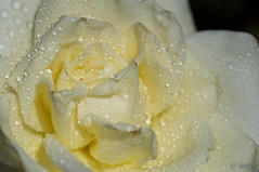 Sparkling Cream-White Rose (MelRoseJ) Tags: flower macro rose dew a57 heatherfarms sonyalpha diamondclassphotographer flickrdiamond minoltaaf100mmf28macro mygearandme