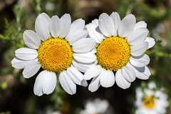 Parella (Joan Blanch) Tags: camp white field yellow daisies couple blanc groc flors parella margarides camdelriu