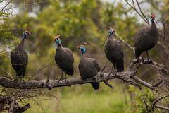Sentinel Soldiers (BunduBasher) Tags: birds branch watching krugernationalpark kruger guineafowl birdlife twitchers helmeted