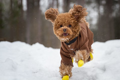3/52 Pyper (Pyper Pup) Tags: winter red snow yellow fun happy boots running snowsuit toypoodle 52weeksfordogspyper