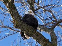 IMG_5770 (sjj62) Tags: birds wildlife baldeagle mississippiriver eagles 70200mmf40 40d lockanddam14 leclaireia
