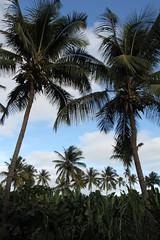 Coconut / banana plantation (s_andreja) Tags: santiago tree verde island cabo scenery coconut vert banana plantation tropical cape