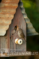 House Wren feeding babies Tekiela TEK6528.jpg (Stan Tekiela's Nature Smart Wildlife Images) Tags: wild copyright usa nature minnesota birds animals critter wildlife unitedstatesofamerica birding feathers images stockphotos professionalphotographer avian digitalimages nestbox stockimages naturalist stockimage feedingyoung housewrentroglodytesaedon stantekiela allrightsreservered naturesmartwildlifewordsandimages avianbirdsfeathersbirdingwildlife minnesotaunitedstatesofamericausa stantekielacopyrightallrightsreserveredstockimagepro stantekielacopyrightallrightsreserveredstockimageprofessionalphotographerimageswildlifeanimalsnaturenaturalistwildstockphotosdigitalimagescopyrightcritter