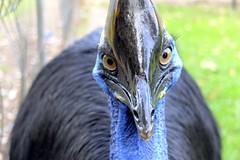Cassowary - Java (veri disquo) Tags: travel bird nature animals indonesia java tiere reisen cassowary indonesien vogel kasuar
