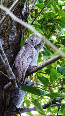 Western Screech-Owl (Nathan Wickstrum) Tags: trees dogs nature swimming landscape photography oak wildlife lakes holes climbing camel rainbows ojai susnet la2ojai nathanwickstrum