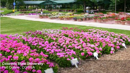 Colorado State University Trial Garden — Photo Courtesy All-American Selections
