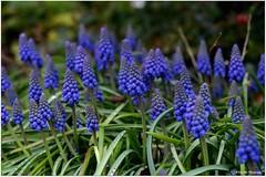 Traubenhyazinthe (mayflower31) Tags: blue flower blau blume spargelgewächs