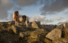 Dartmoor Pony (yadrad) Tags: southwest pony devon tor dartmoorpony dartmoornationalpark feathertor