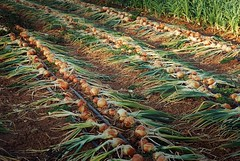 "onions drying • <a style=""font-size:0.8em;"" href=""http://www.flickr.com/photos/75400798@N04/13398666253/"" target=""_blank"">View on Flickr</a>"