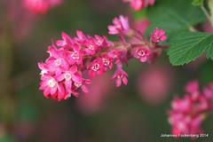 Blüten (grafenhans) Tags: sony pflanze 55 makro tamron blüte slt 2590 grafenwald slt55