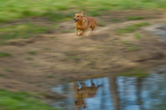 Neeltje 15/52 (TuukiTuuki) Tags: dog reflection water movement action fast running run move dachshund wiener crop stupid dachs panning teckel weener doxie 52weeksfordogs idontdohappytagginganymore whitthenewflickr noonewillseethemanyways
