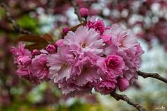 Blossom (BraCom (Bram)) Tags: pink flowers holland closeup canon spring blossom bokeh nederland thenetherlands lente bloesem bloemen stellendam roze zuidholland goereeoverflakkee southholland canonef24105mm bracom canoneos5dmkiii