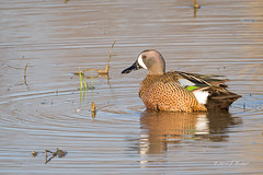 Male Blue-winged Teal (2014-04-12: 1007) (bechtelsf) Tags: ohio duck nikon teal waterfowl 80400mm d610 bluewinged