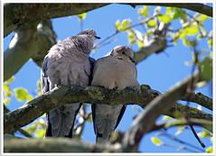 tourtereaux (abac077) Tags: bird love animal amour oiseau tourterelle tourtereaux